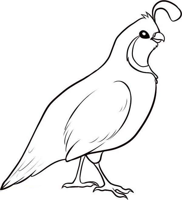 Valley Quail Coloring Page: Valley Quail Coloring Page ...