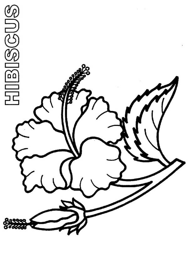 Bloom And Burgeon Hibiscus Flower Coloring Page Color Luna