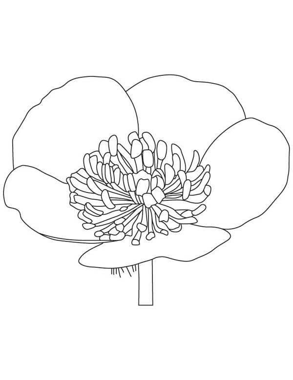 Hibiscus Flower, : Buttercup Flower Coloring Page