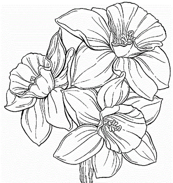 Hibiscus Flower, : Daffodil Flower Coloring Page
