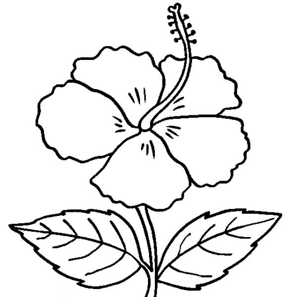 Hibiscus Flower, : Hibiscus Flower in Bloom Coloring Page