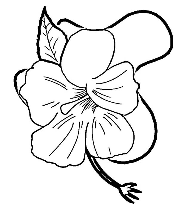 Hibiscus Flower, : Hibiscus Flower in Blossom Coloring Page