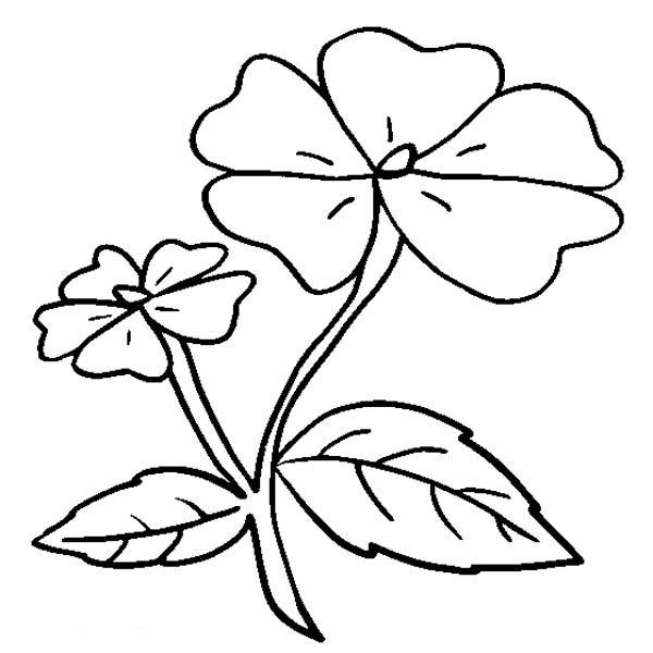 Hibiscus Flower, : Impatiens Flower Coloring Page