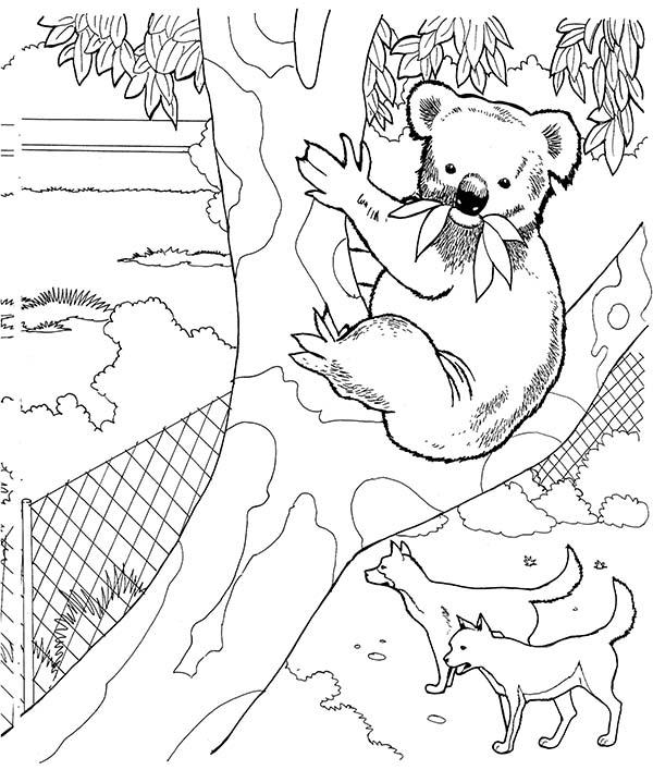 Koala Bear, : Koala Bear in a Zoo Coloring Page