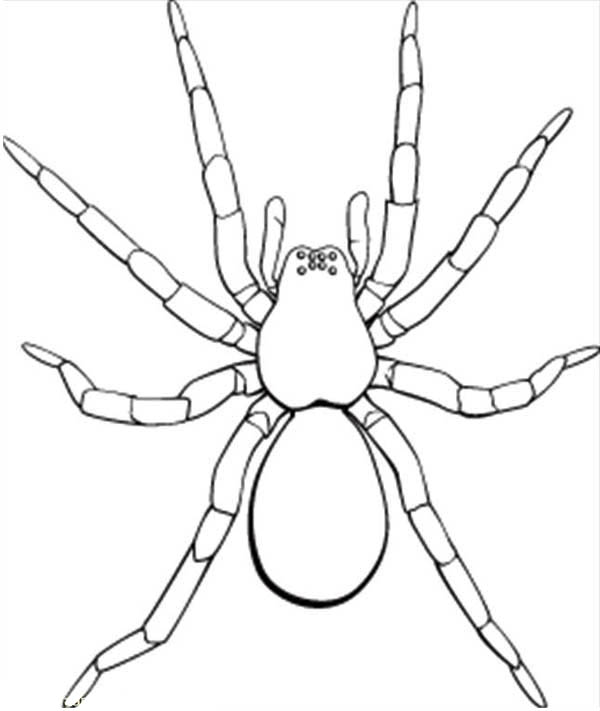 Spider, : Picture of Tarantula Coloring Page