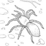 Spider, Tarantula Spider Walking On The Ground Coloring Page: Tarantula Spider Walking on the Ground Coloring Page