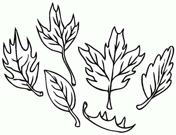 Fall Leaf, : Type of Maple Fall Leaf Coloring Page