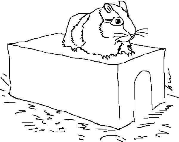 Guinea Pig, : A Hamster on Its Limps in Guinea Pig Coloring Page