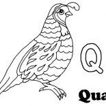 Quail, Alphabet Q Is For Quail Coloring Page: Alphabet Q is for Quail Coloring Page