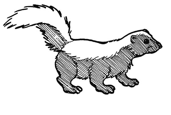 Skunk, : Amazing Black Skunk Coloring Page