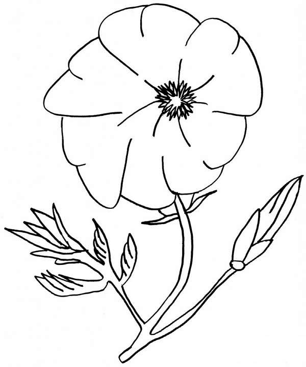 Poppy, : Amazing Poppy Flower Coloring Page