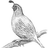 Quail, Awesome Drawing Of Quail Coloring Page: Awesome Drawing of Quail Coloring Page
