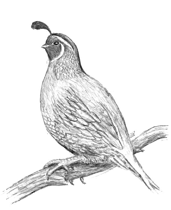 Quail, : Awesome Drawing of Quail Coloring Page
