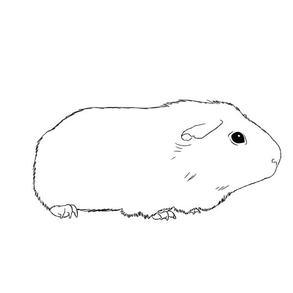 Guinea Pig, : Awesome Guinea Pig Coloring Page