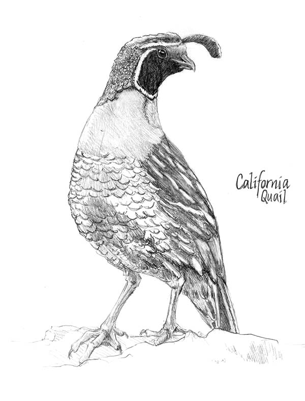 Quail, : Beautiful California Valley Quail Coloring Page