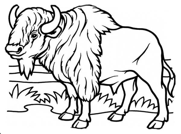 Bison, : Bison Coloring Page