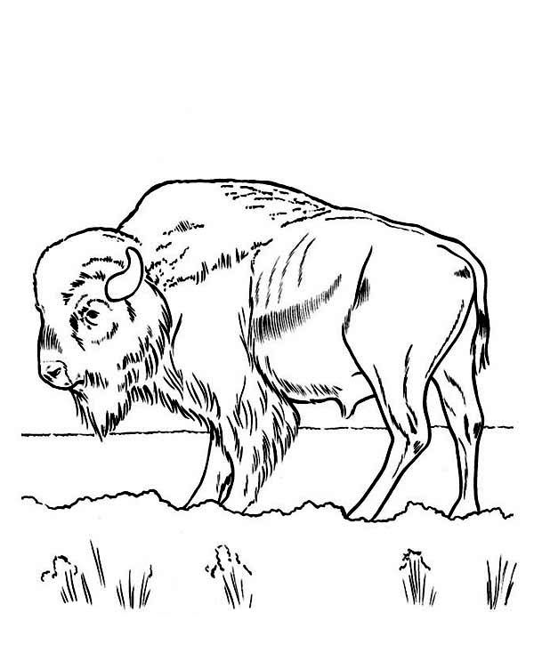 Bison, : Bison Eating Grass Coloring Page
