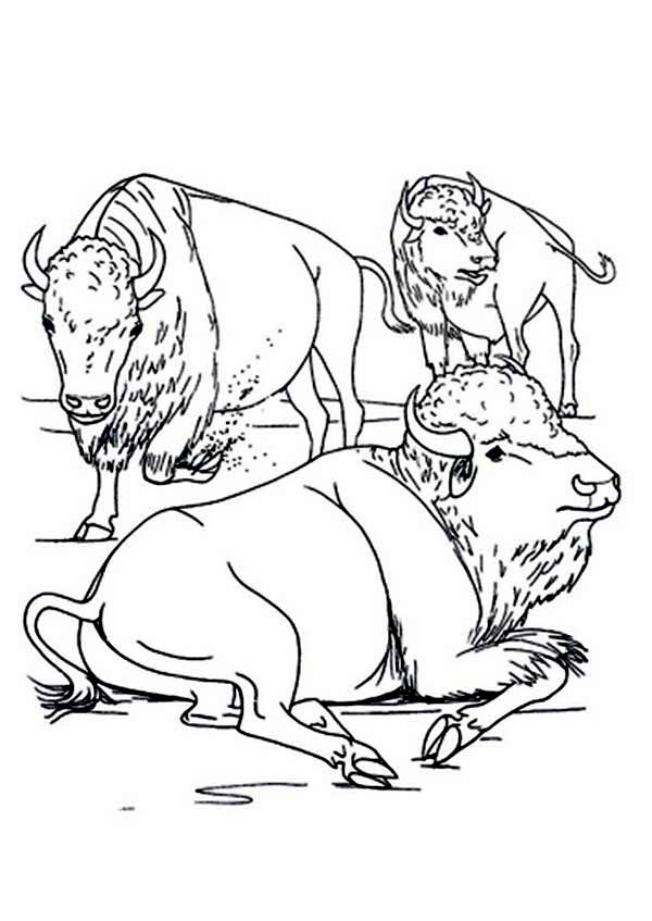 Bison, : Bison Group Rest Coloring Page