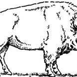 Bison, Bison Picture Coloring Page: Bison Picture Coloring Page