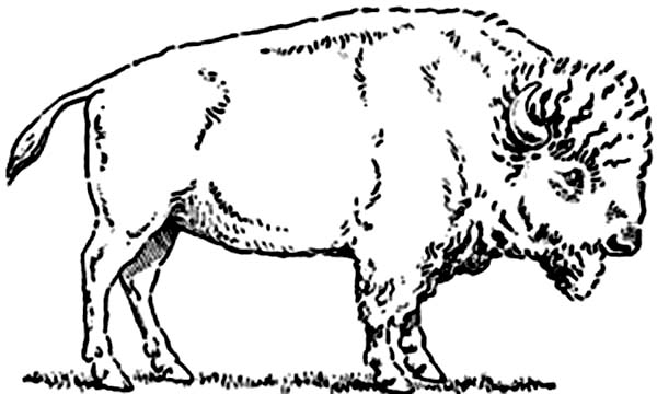 Bison, : Bison Picture Coloring Page