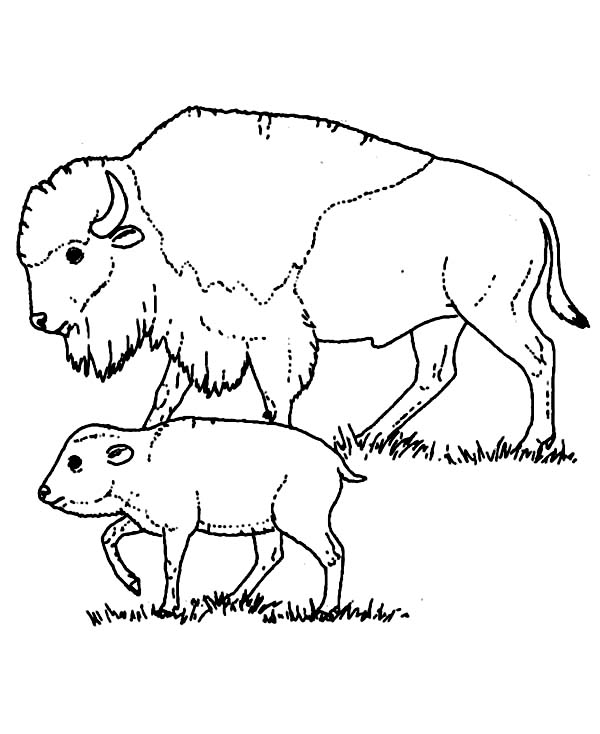 Bison, : Bison Taking Care of Her Baby Coloring Page