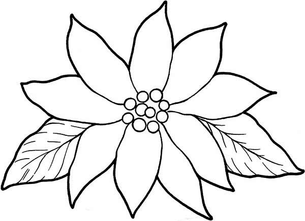 Poinsettia, : Blooming Poinsettia Coloring Page