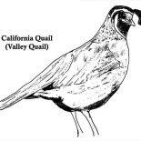 Quail, California Quail Coloring Page: California Quail Coloring Page