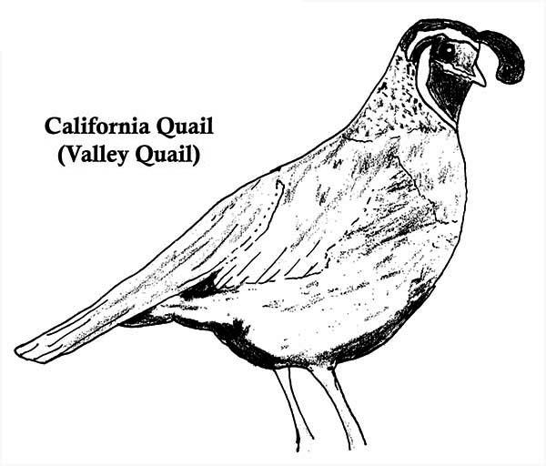 Quail, : California Quail Coloring Page