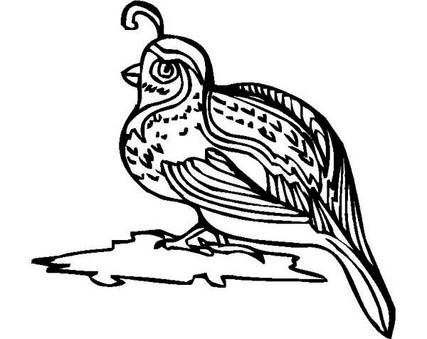 Quail, : California Valley Quail Coloring Page