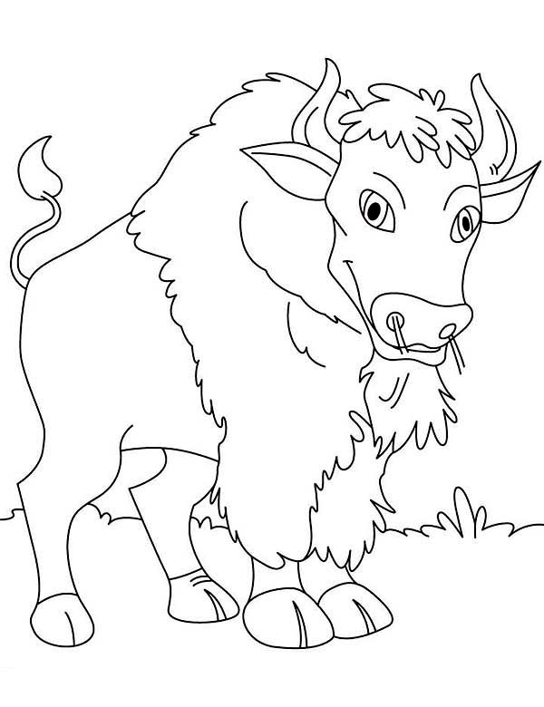 Bison, : Canadian Bison Picture Coloring Page