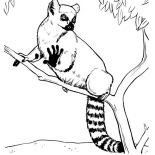 Lemur, Cat Sized Ring Tailed Lemur Coloring Page: Cat Sized Ring Tailed Lemur Coloring Page