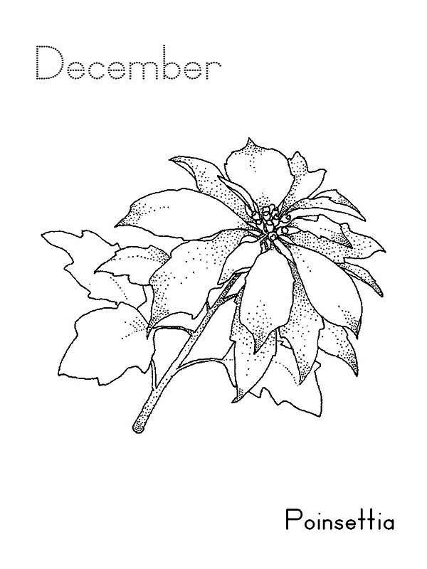 December Poinsettia Coloring Page Color Luna