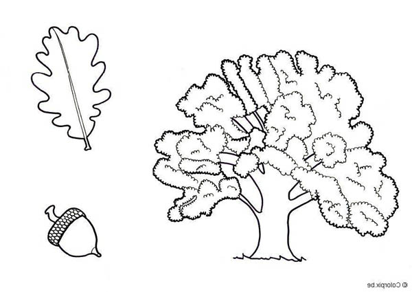 Oak Tree, : Drawing of an Oak Tree Leaf and Fruit Coloring Page
