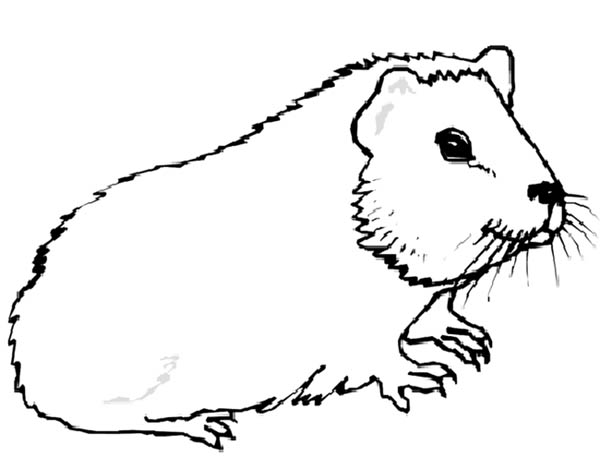 Guinea Pig, : Guinea Pig Animals Coloring Page