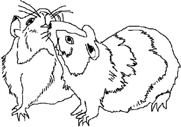 Guinea Pig, : Guinea Pig Mating Coloring Page
