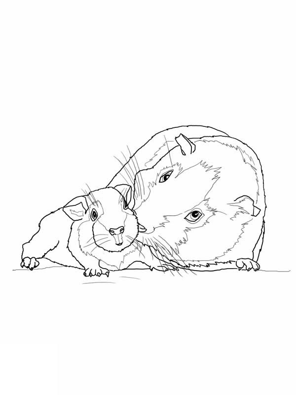Guinea Pig, : Guinea Pig Mother and Baby in Guinea Pig Coloring Page