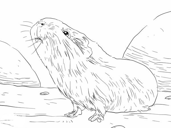 Guinea Pig, : Guinea Pig Smelling Food Coloring Page