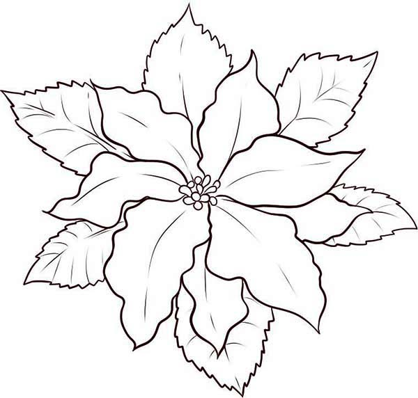 Poinsettia, : How to Draw Poinsettia Coloring Page