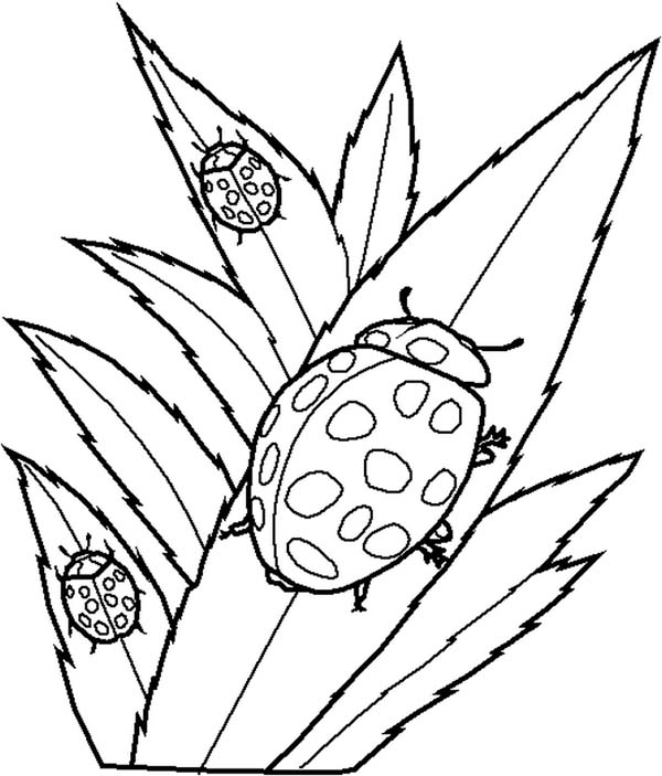 Lady Bug Eating Leaves Coloring Page Color Luna