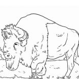 Bison, Long Beared Bison Coloring Page: Long Beared Bison Coloring Page