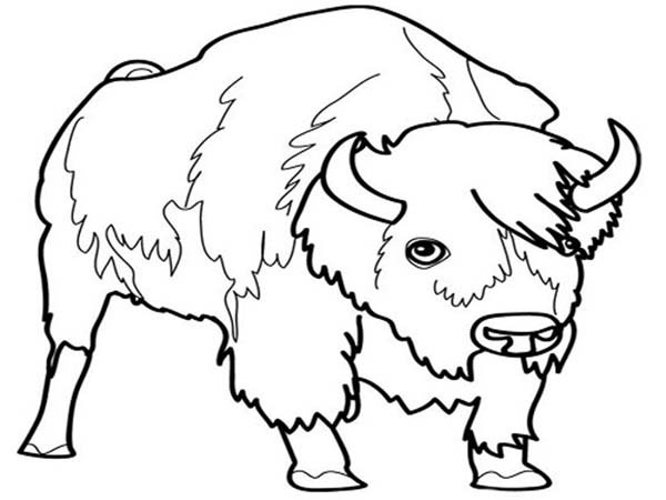 Bison, : Male Bison Picture Coloring Page