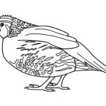Quail, New World Quail Coloring Page: New World Quail Coloring Page