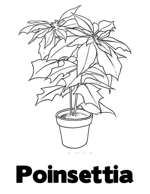 P Is For Poinsettia Coloring Page Color Luna