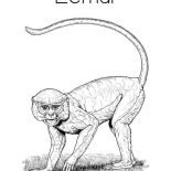 Lemur, Picture Of Lemur Coloring Page: Picture of Lemur Coloring Page