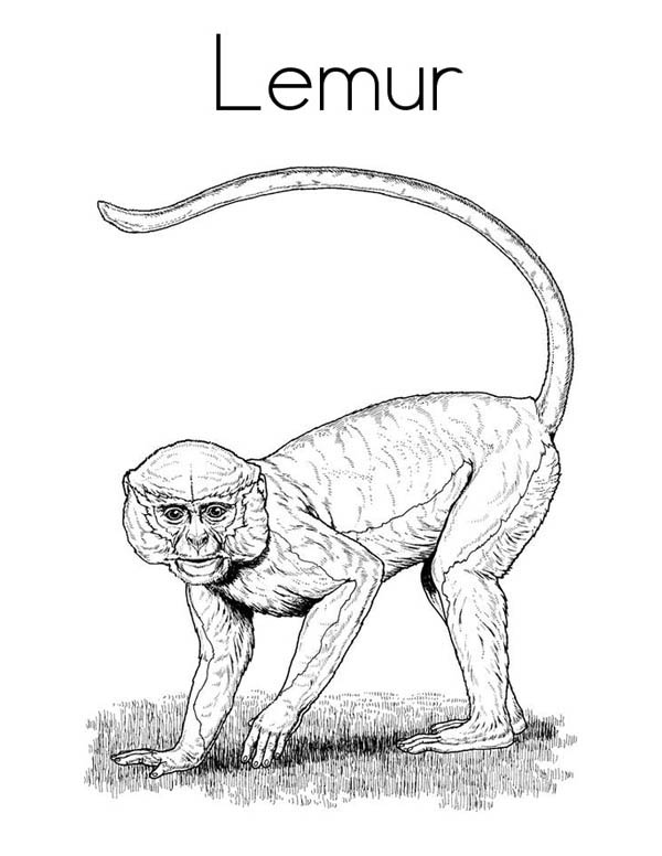 Lemur, : Picture of Lemur Coloring Page