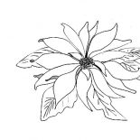 Poinsettia, Picture Of Poinsettia Coloring Page: Picture of Poinsettia Coloring Page