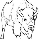 Bison, Picture Of A Bison Coloring Page: Picture of a Bison Coloring Page
