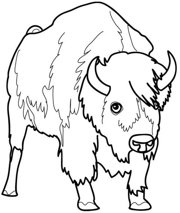 Bison, : Picture of a Bison Coloring Page