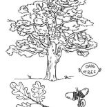 Oak Tree, Picture Of An Oak Tree Coloring Page: Picture of an Oak Tree Coloring Page