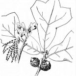 Oak Tree, Picture Of An Oak Tree Fruit And Leaves Coloring Page: Picture of an Oak Tree Fruit and Leaves Coloring Page